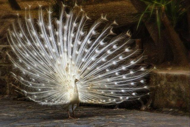 beautiful-white-peacock-photography-by-john-jc