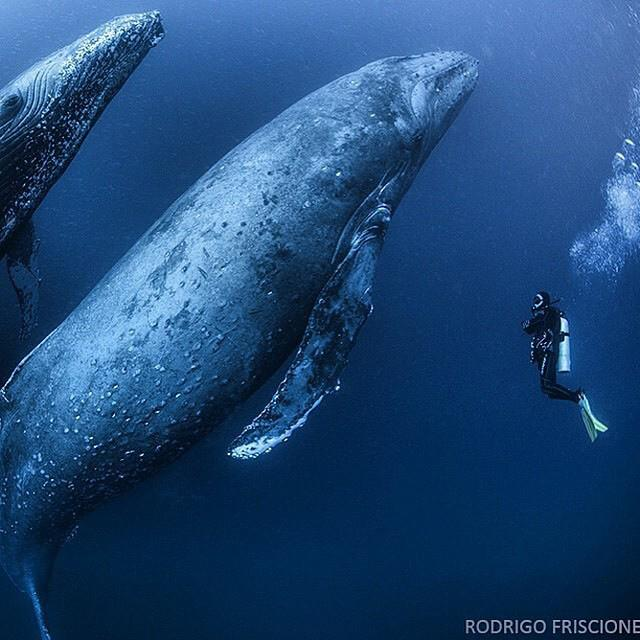 Diving with humpbacks | Photography by ©Rodrigo Friscione.jpg