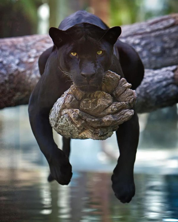 black-panther-in-jacksonville-zoo-florida-photography-by-charlie-burlingame