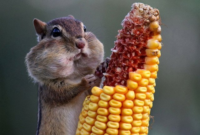 chipmunk-eats-corn-photography-by-barbara-lynne