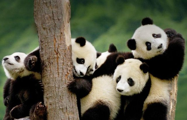 giant-panda-cubs-china-photography-by-pete-oxford