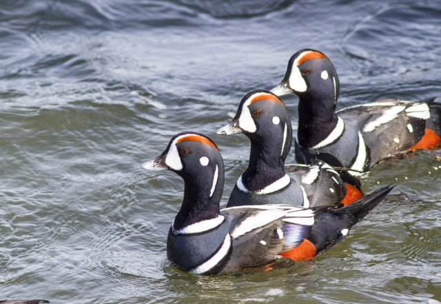 harlequin-ducks-from-the-barnegat-jetty-on-long-beach-island-in-new-jersey-photography-by-julmem