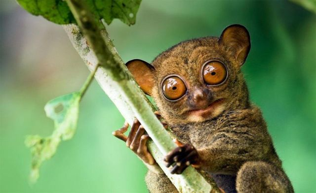 The Look Of Western Tarsier | Photography by ©Steve Bloom